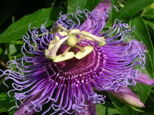 a1-passion-flower-1