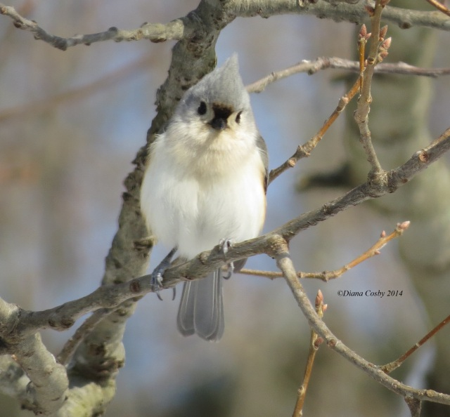 2 - 13 - 2014  Tufted Titmouse