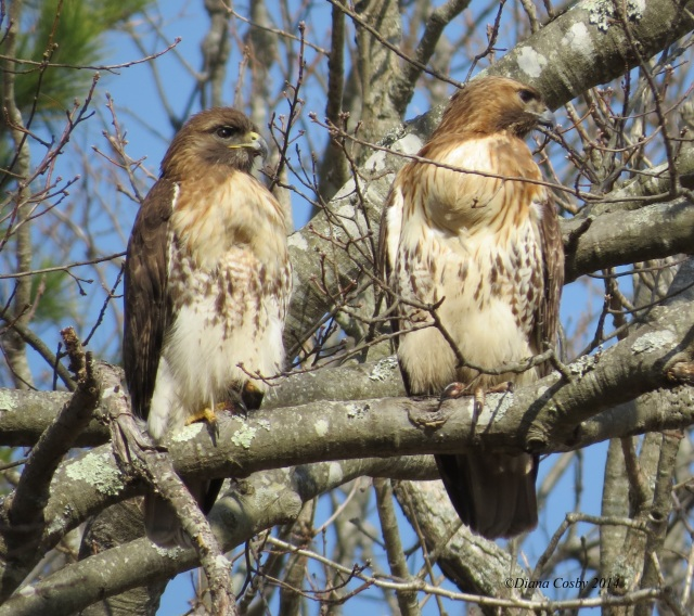 3 - 22 - 2014  Pair of Red Tailed Hawks