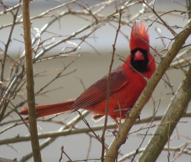 4 - 26 - 2014  Male Cardinal