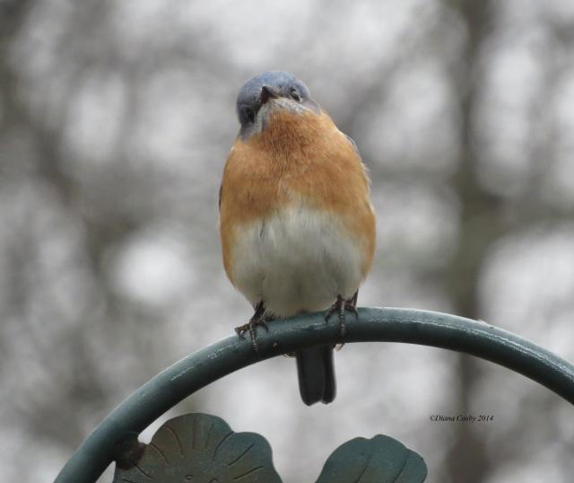 4 - 3 - 2014  Bluebird