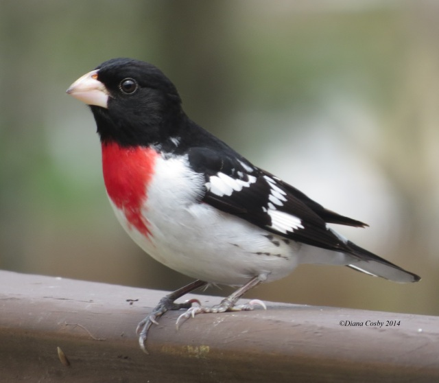 5 - 3 - 2014  Male Rose-breasted Grosbeak