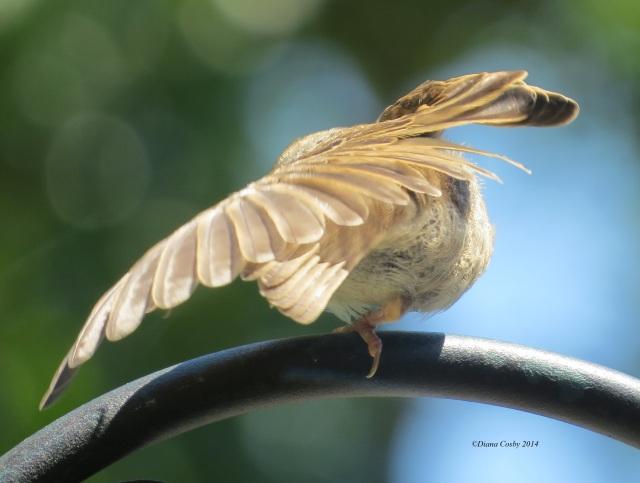 6 - 8 - 2014  Baby House Sparrow
