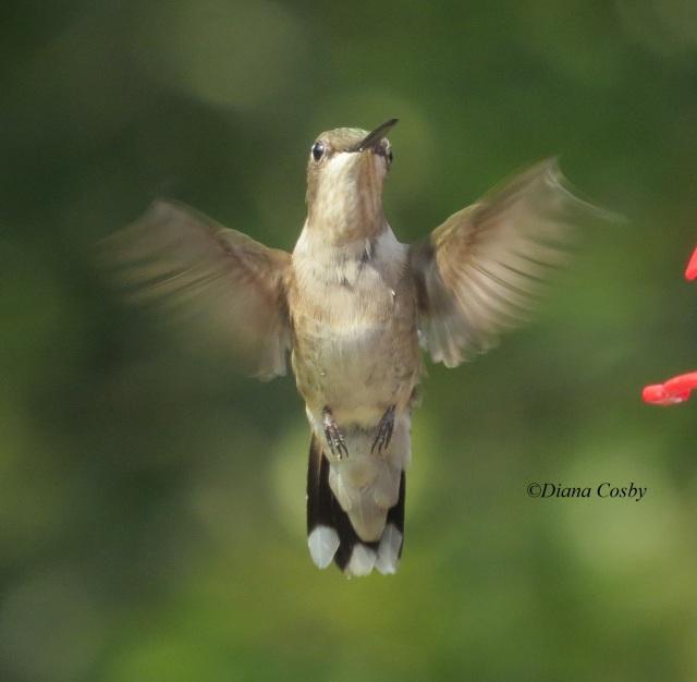 8 - 1 - 2014  Hummingbird