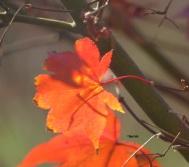 Templar cross leaf Nov 24 2015